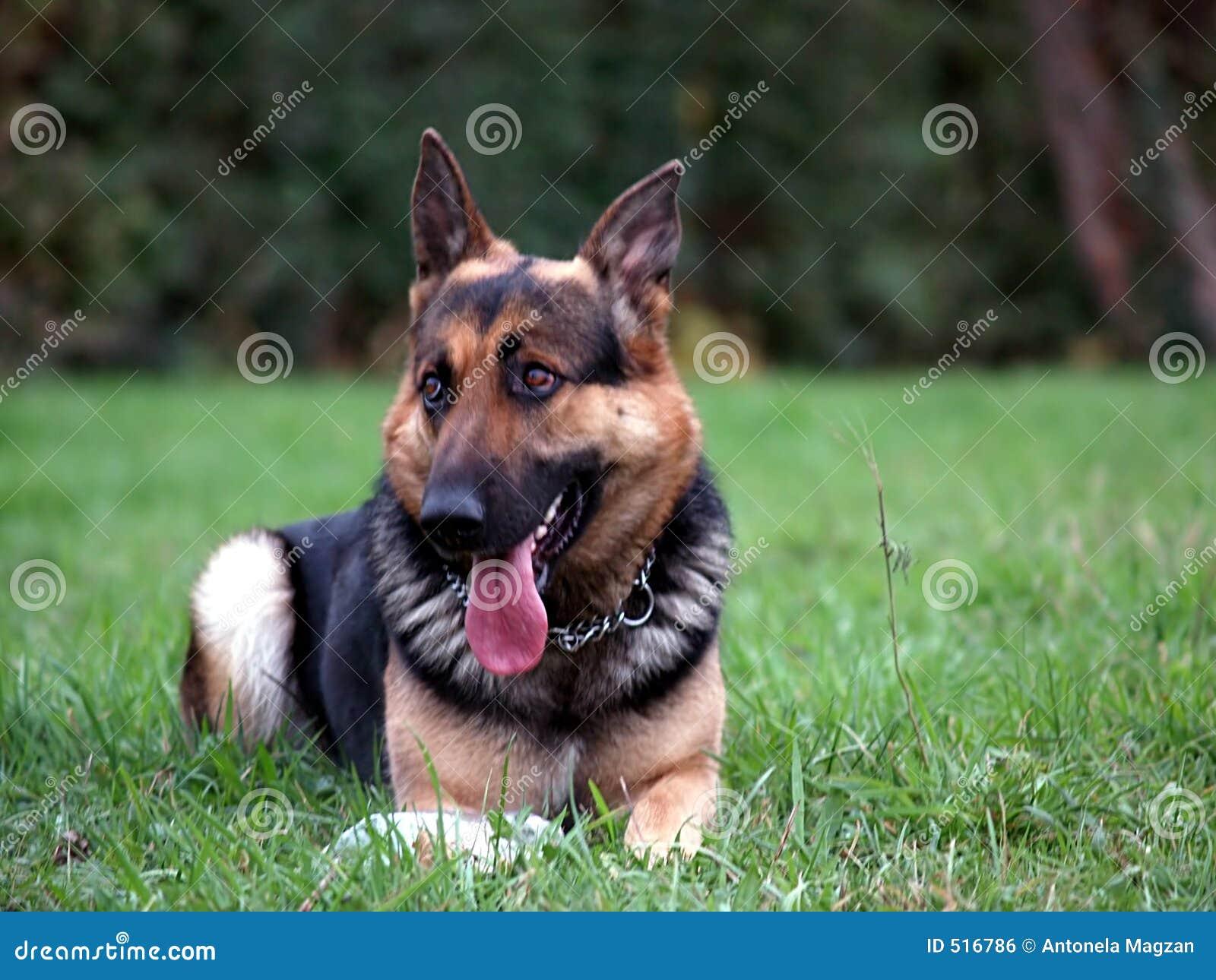 SAD hund