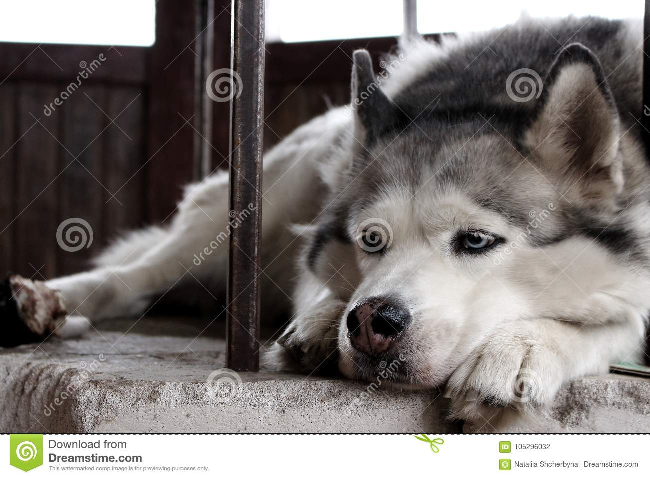 Sad husky dog with blue eyes lying and waiting for owner. Cute white and grey purebred husky. Dog`s devotion.