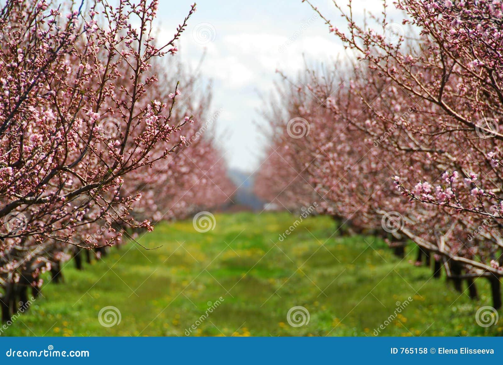 Sad kwitnąca brzoskwiniowe