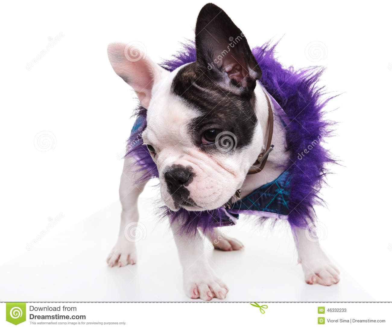 Bulldog puppy wearing furry clothes stock photo image 46332233