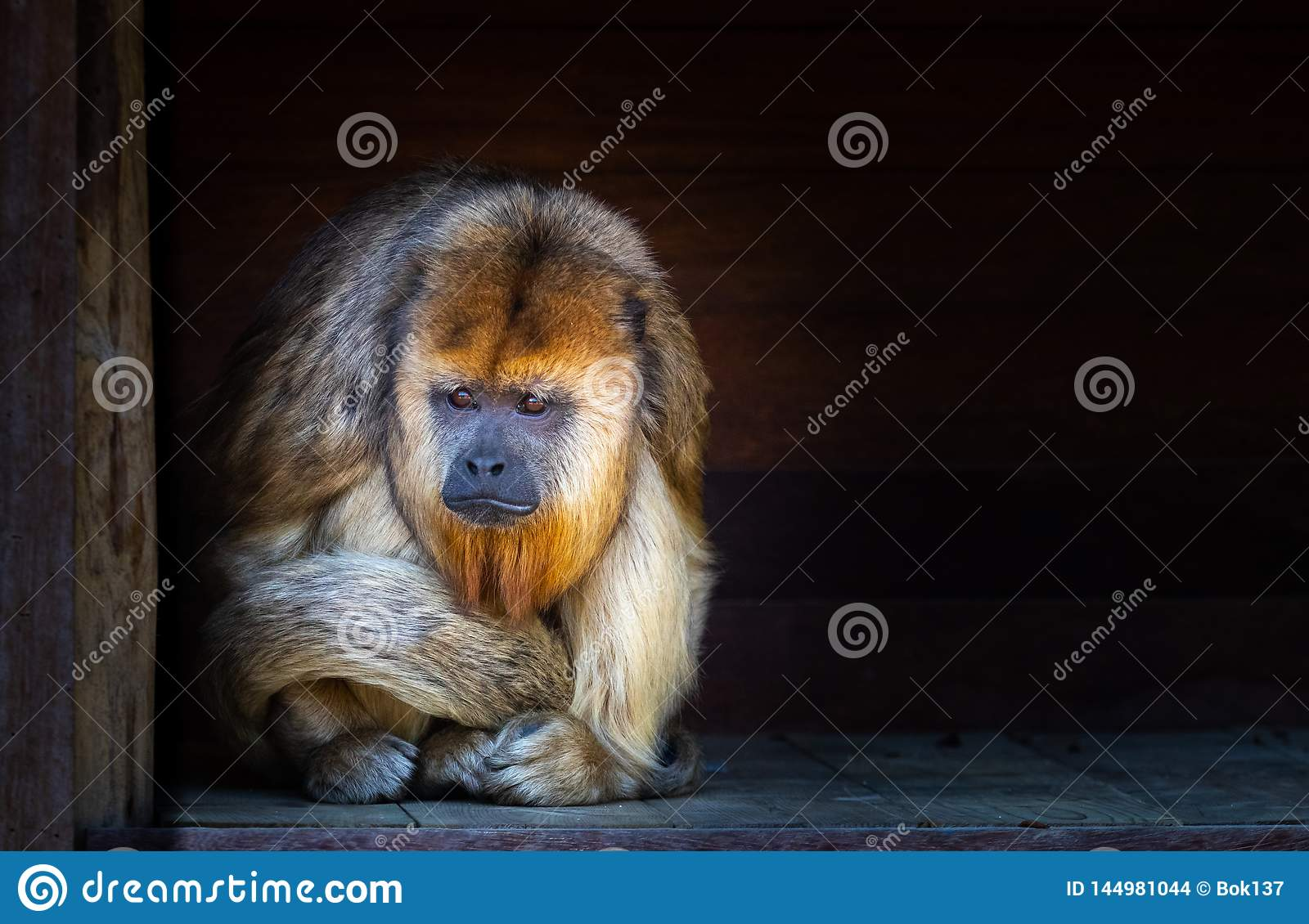 Sad looking howler monkey