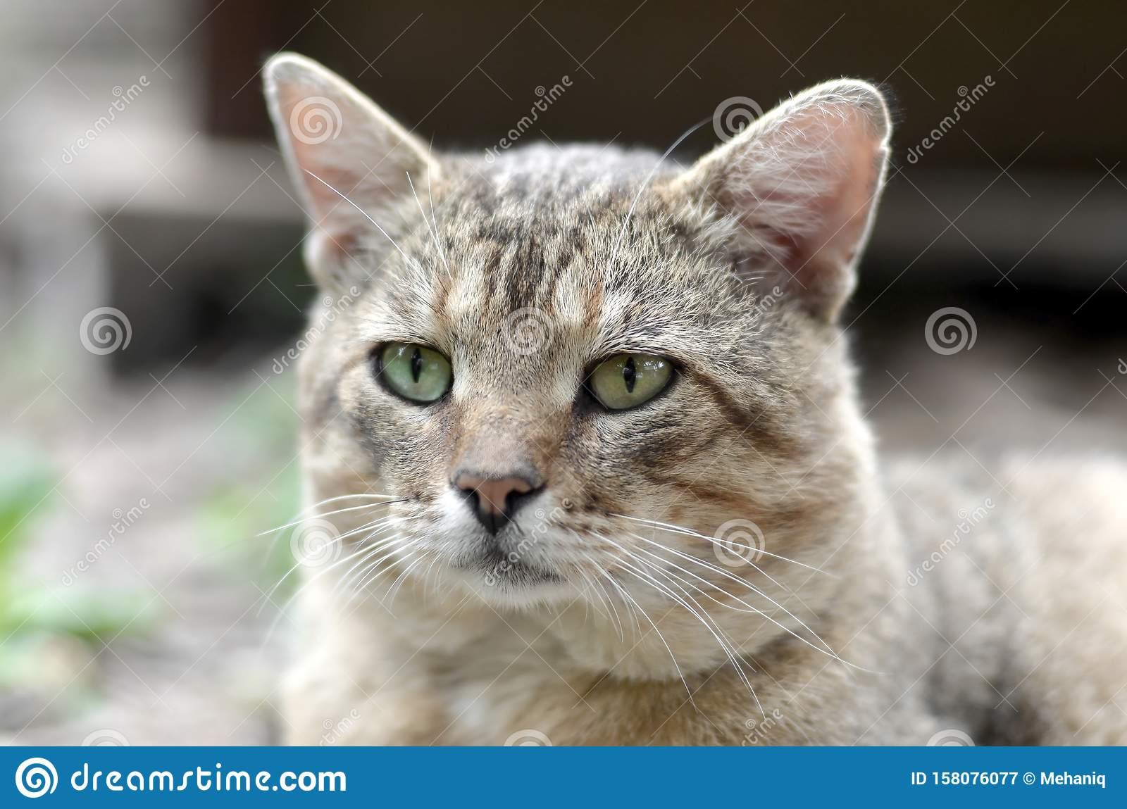 Sad muzzle portrait of a grey striped tabby cat with green eyes, selective focus