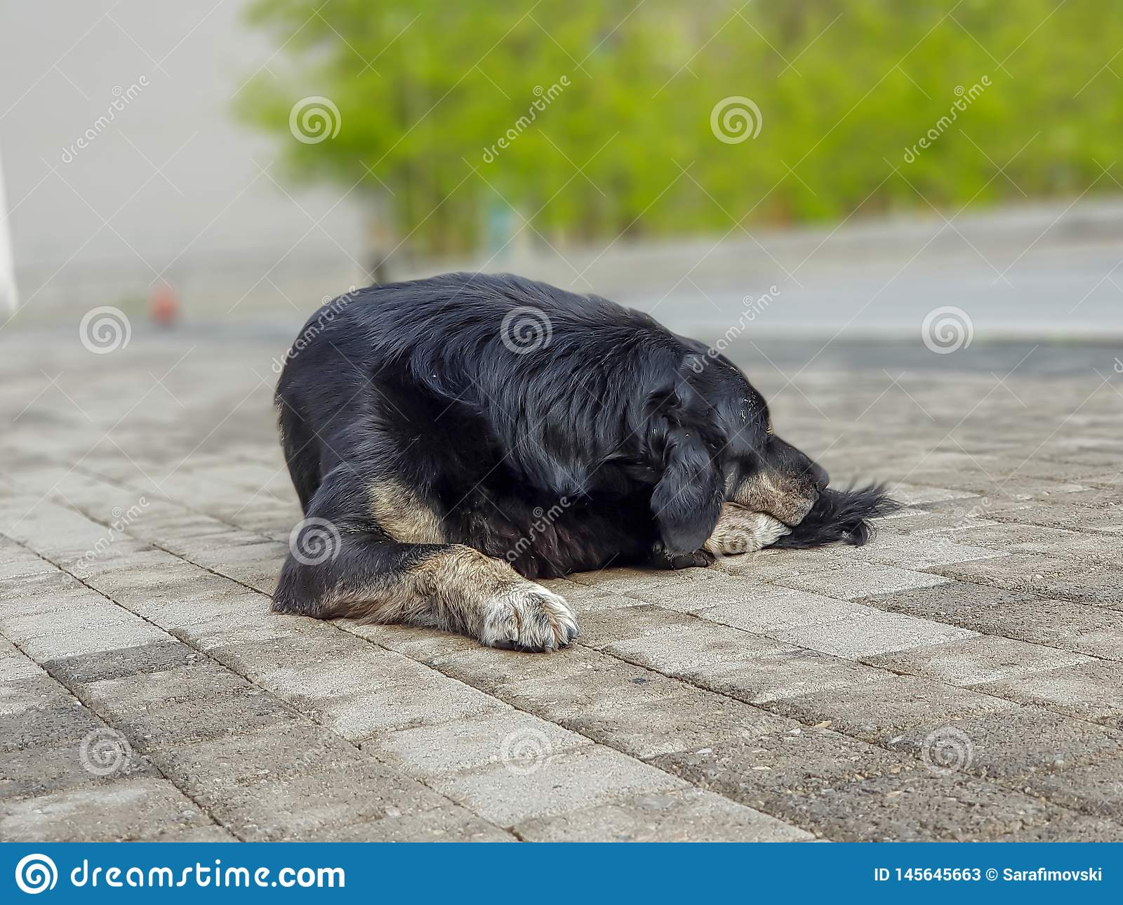 Sad and old homeless hungry black dog sleeping in the city suburbs.