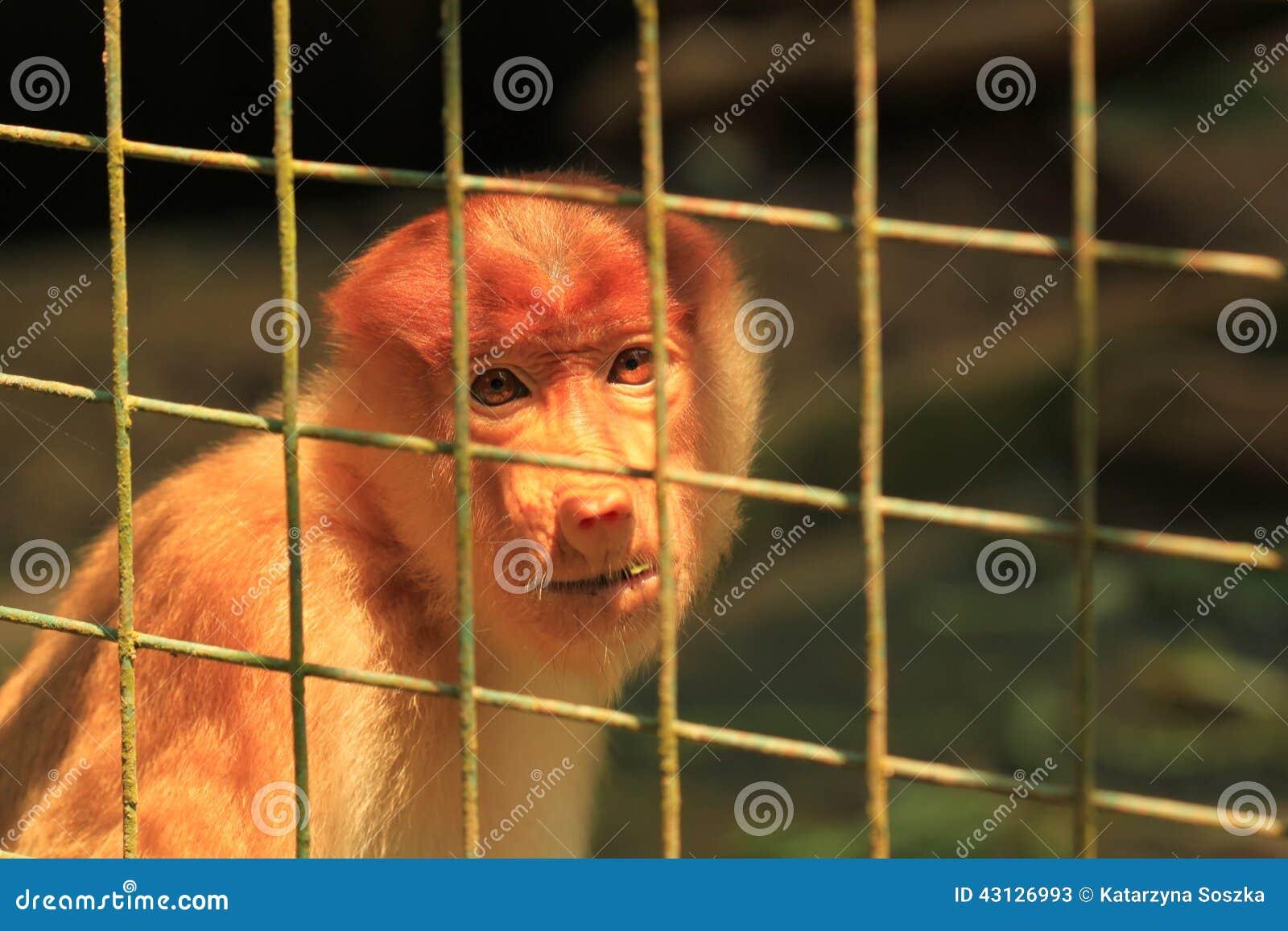 Sad Proboscis Monkey in a cage