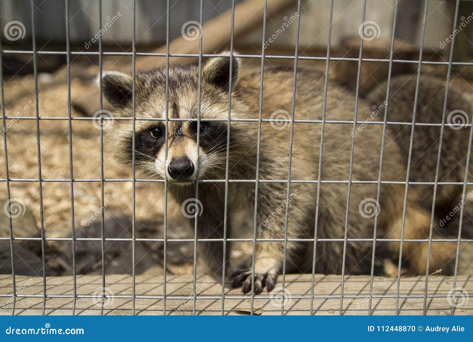 Sad raccoon, looking through its cage.