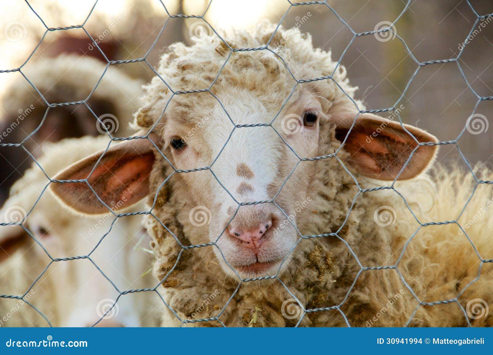 Trauriges Schaf