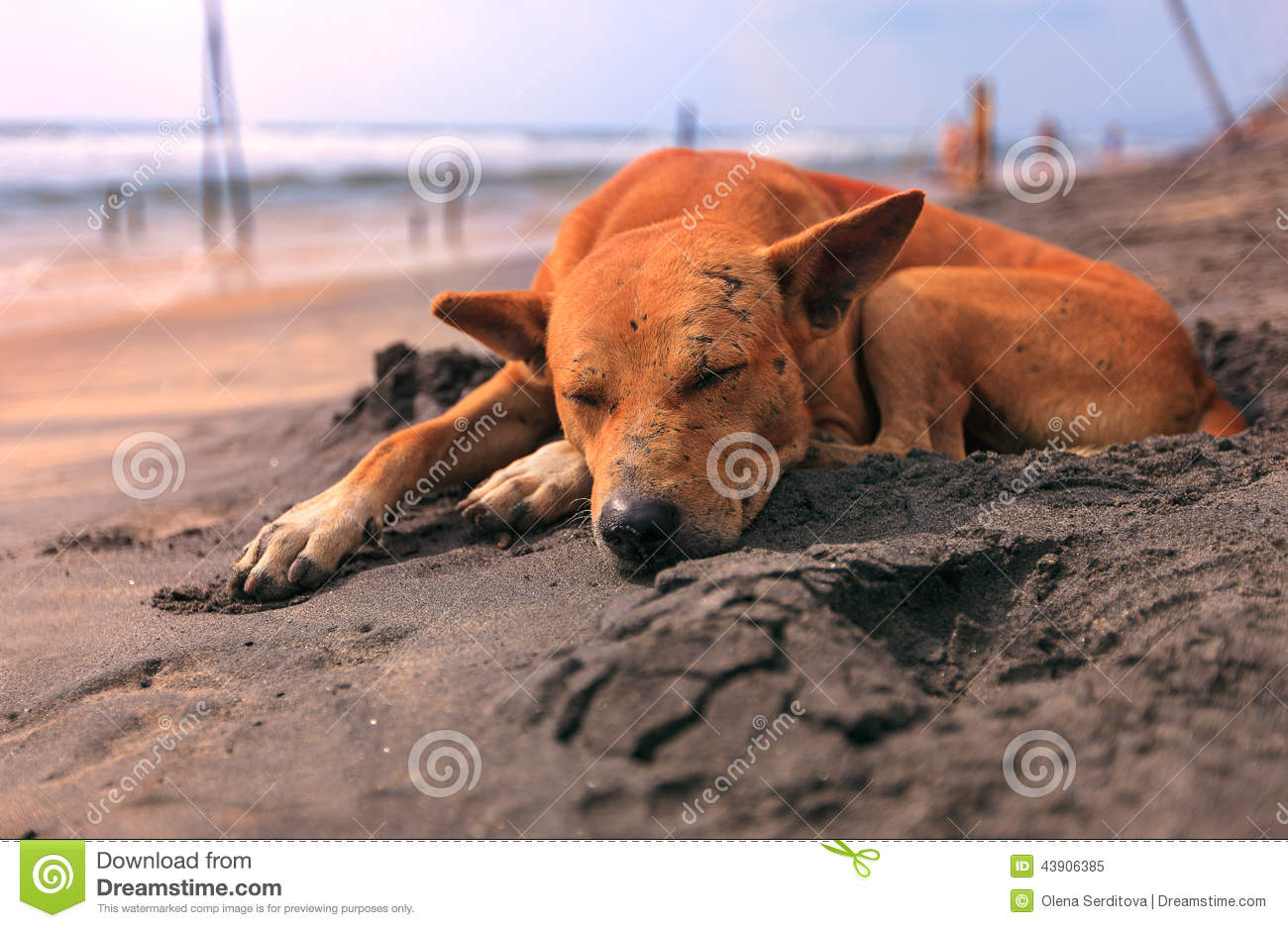 Sad Stray Dog Sleeping On The Beach Stock Image - Image of ...
