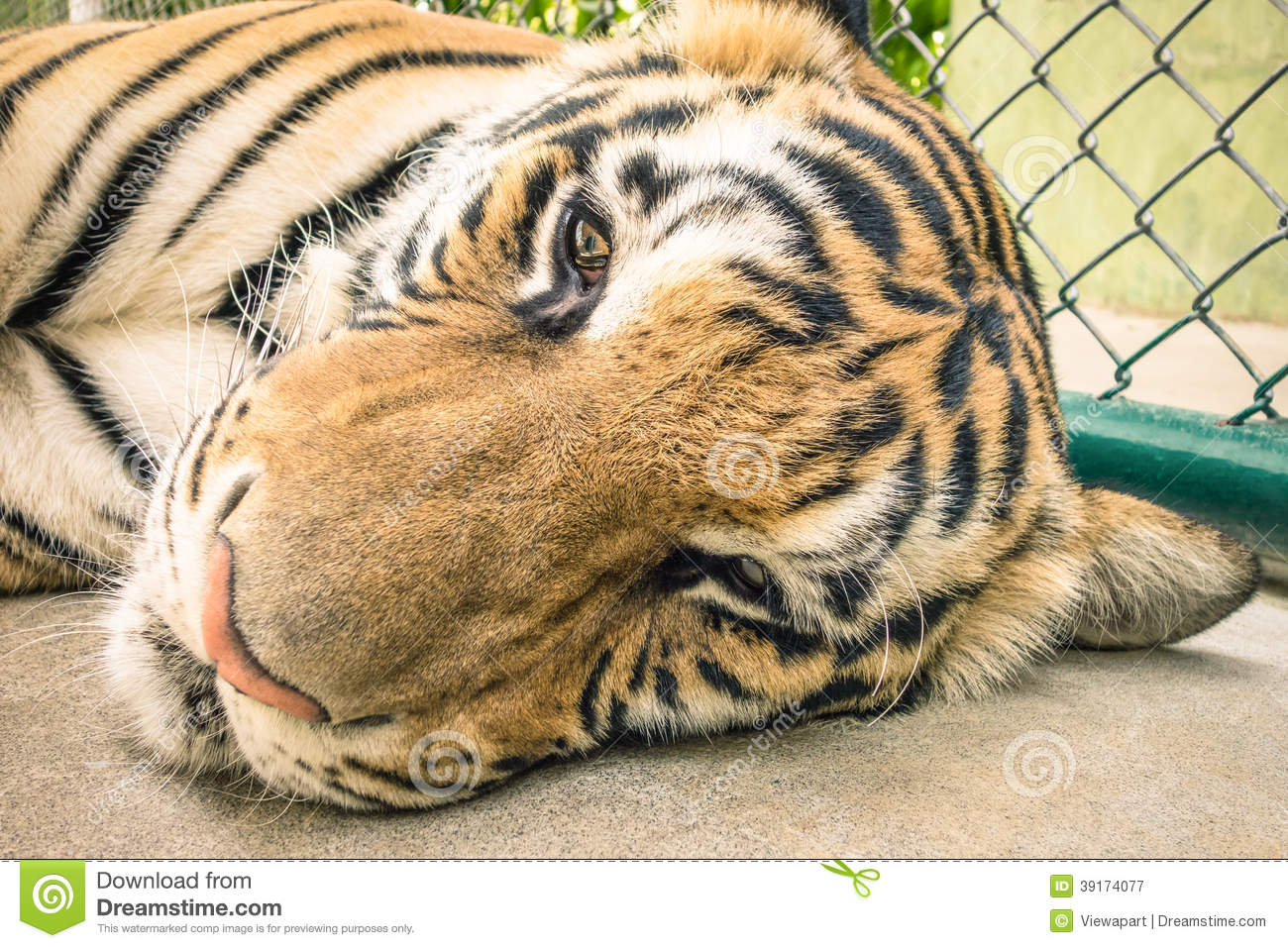 Sad Tiger In A Zoo Cage Animal Abuse Stock Photo Image