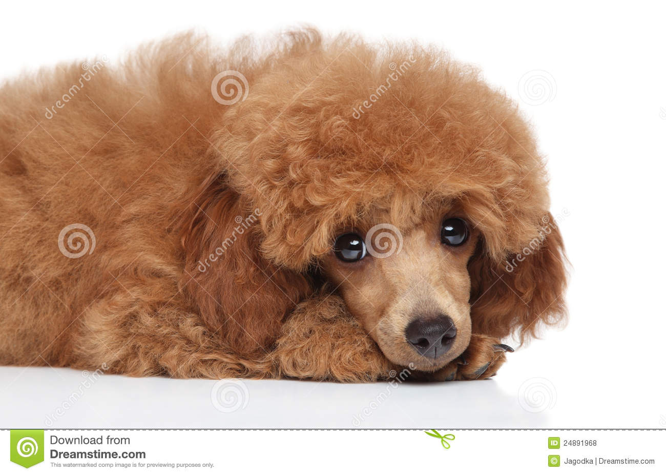Baby White Toy Poodle Sad toy poodle puppy.