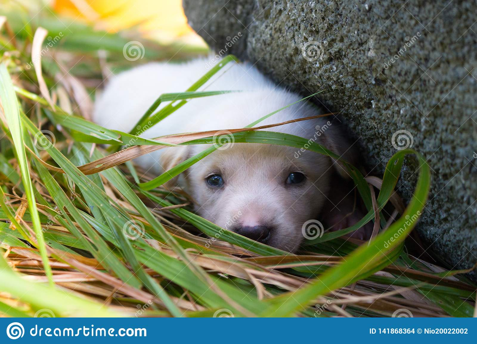 Sad White Puppy Lying In Grass Near Stone Cute Small Dog Looking At Camera Lovely Baby Dog Close Up Animal Care And Love Concep Stock Photo Image Of Concep Baby 141868364