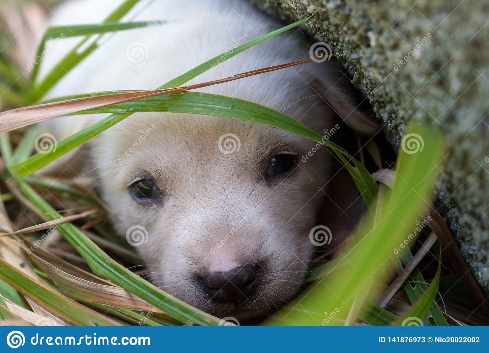 Sad White Puppy Lying In Grass Near Stone Cute Small Dog Looking At Camera Lovely Baby Dog Close Up Animal Care And Love Concep Stock Image Image Of Looking Close 141876973