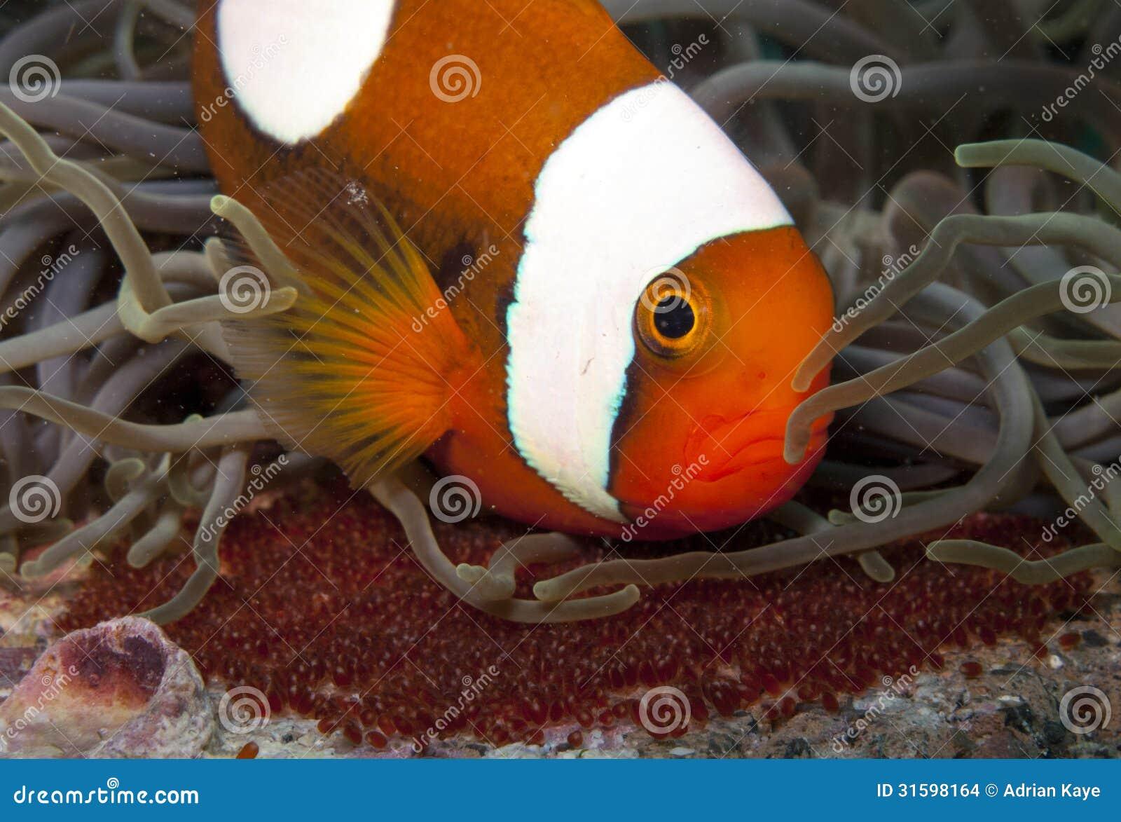 Saddleback anemone fish with eggs