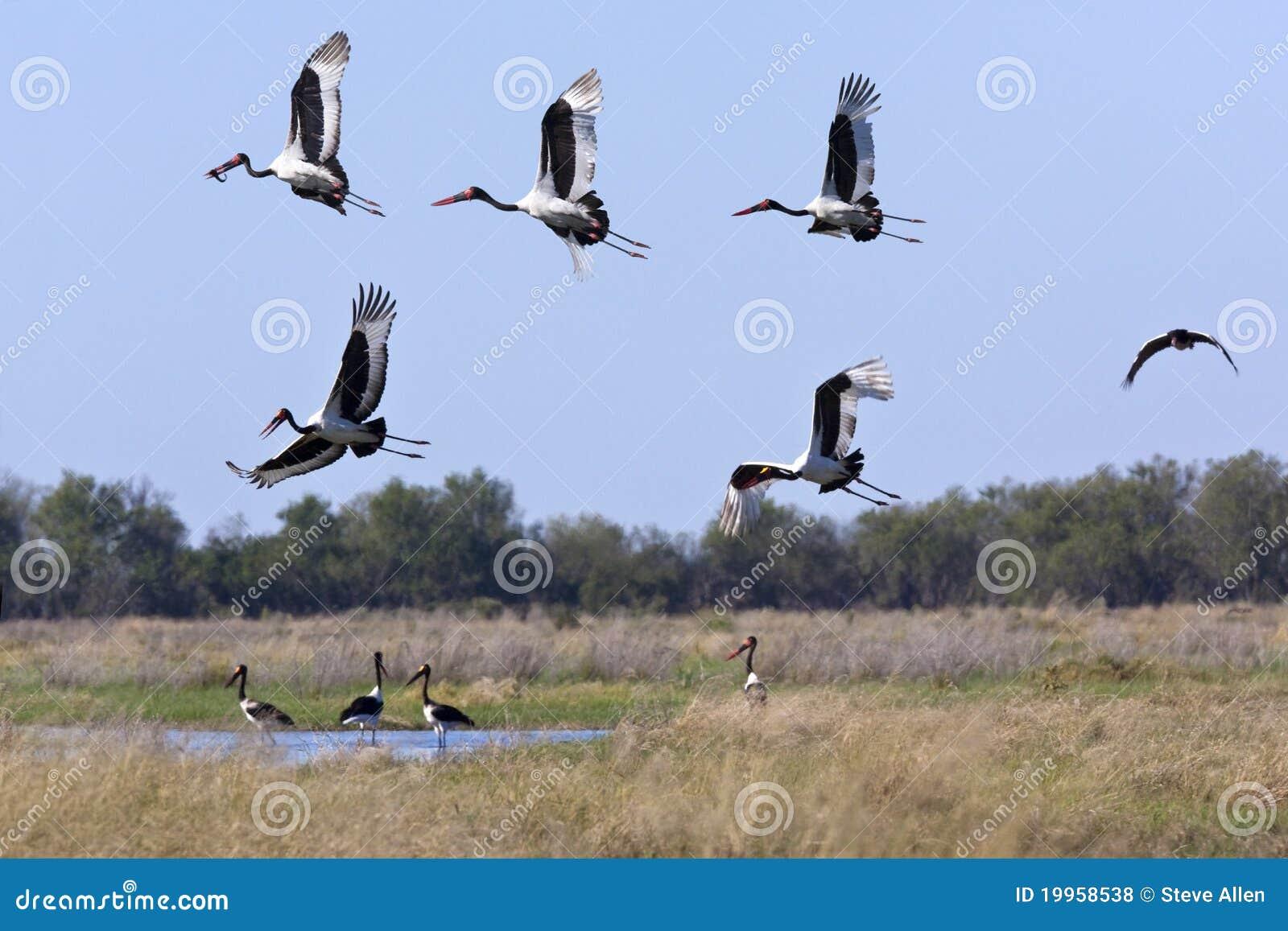 Saddlebilled Storks - Okavango - Botswana