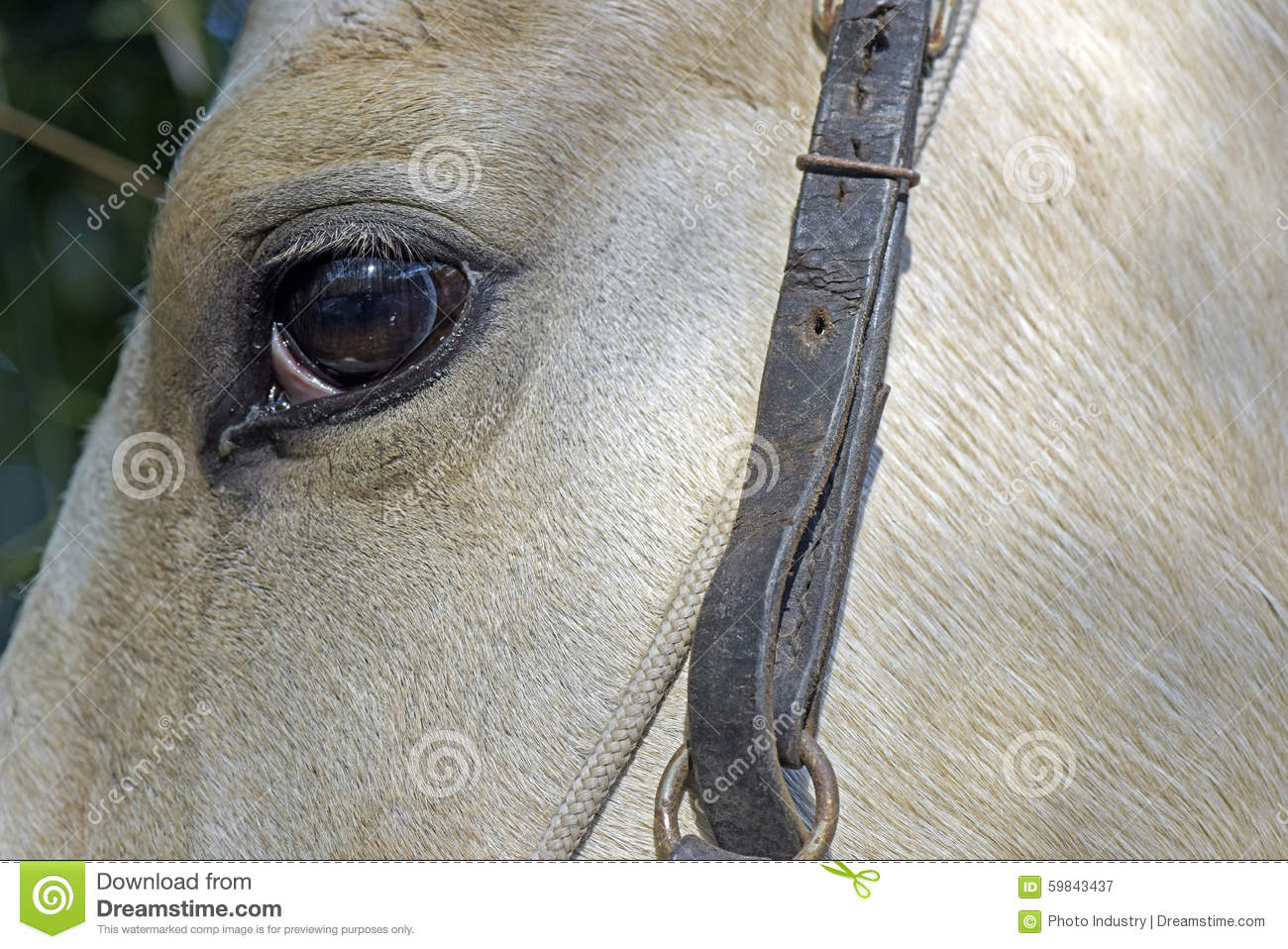 history of the horse equus caballus essay Horse, (equus caballus), a hoofed, herbivorous mammal of the family equidae it comprises a single species the history of the english thoroughbred is a long one.