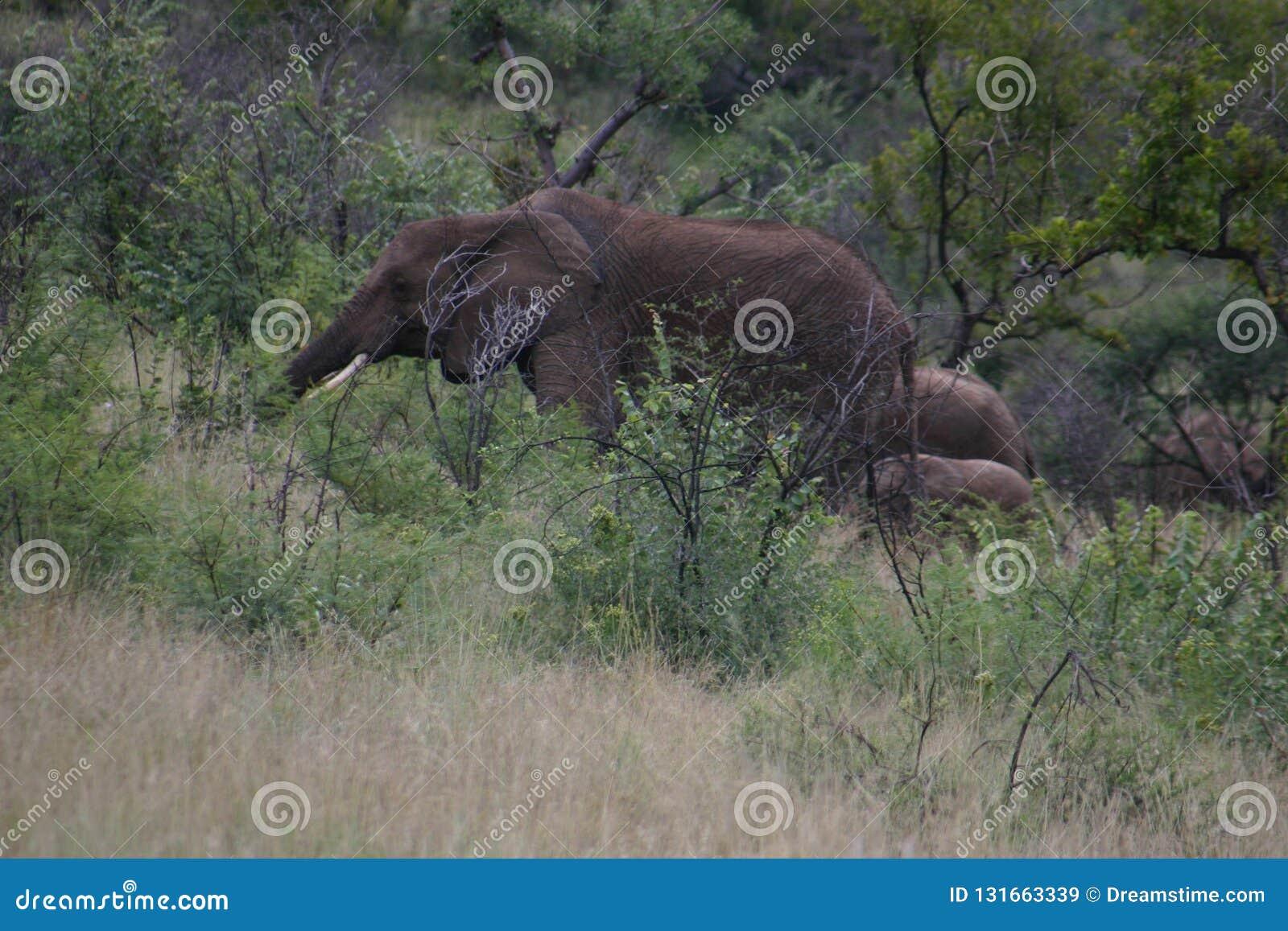 Safari d éléphant