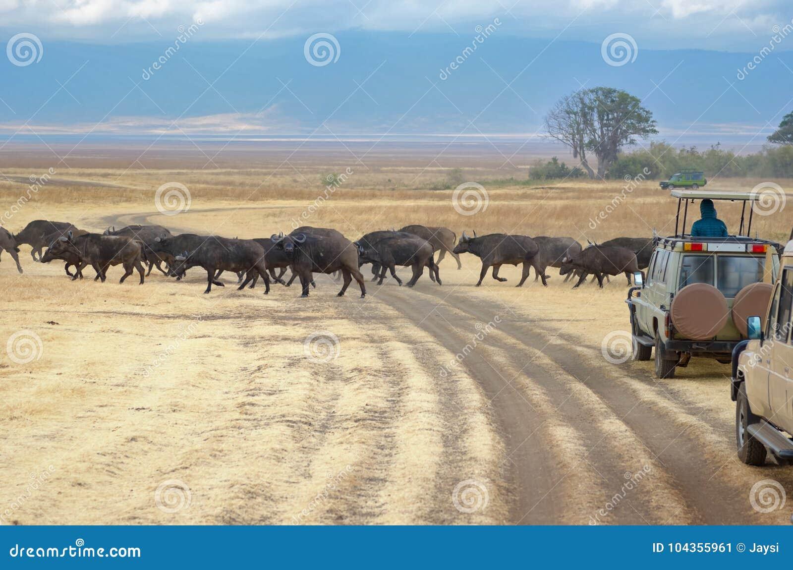 Safari en África, turistas en jeeps que miran búfalos el cruzar del camino en la sabana del parque de Kruger, fauna de Suráfrica