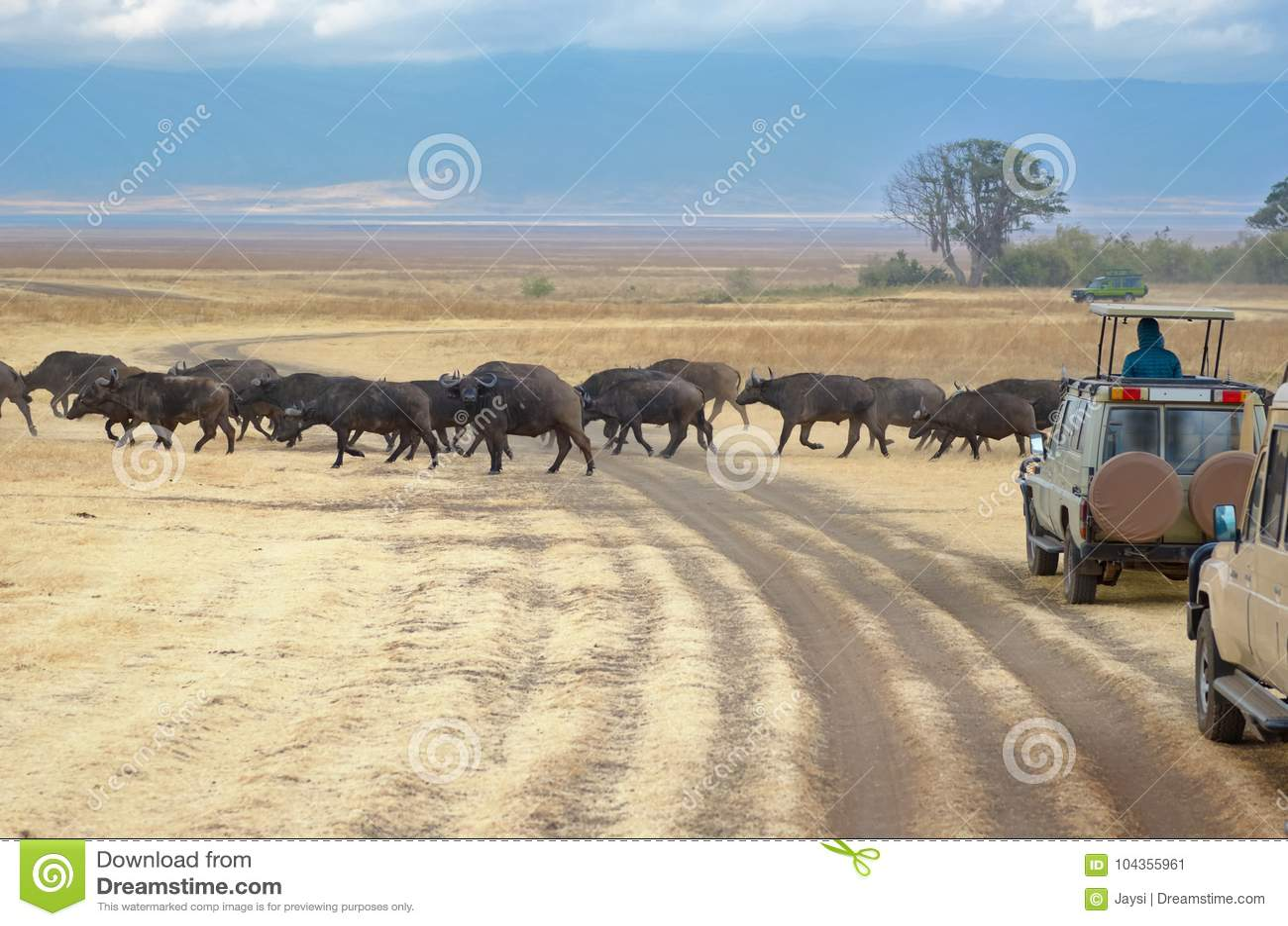 Safari i Afrika, turister i jeepar som håller ögonen på bufflar att korsa vägen i savannah av Kruger, parkerar, djurliv av Sydafr