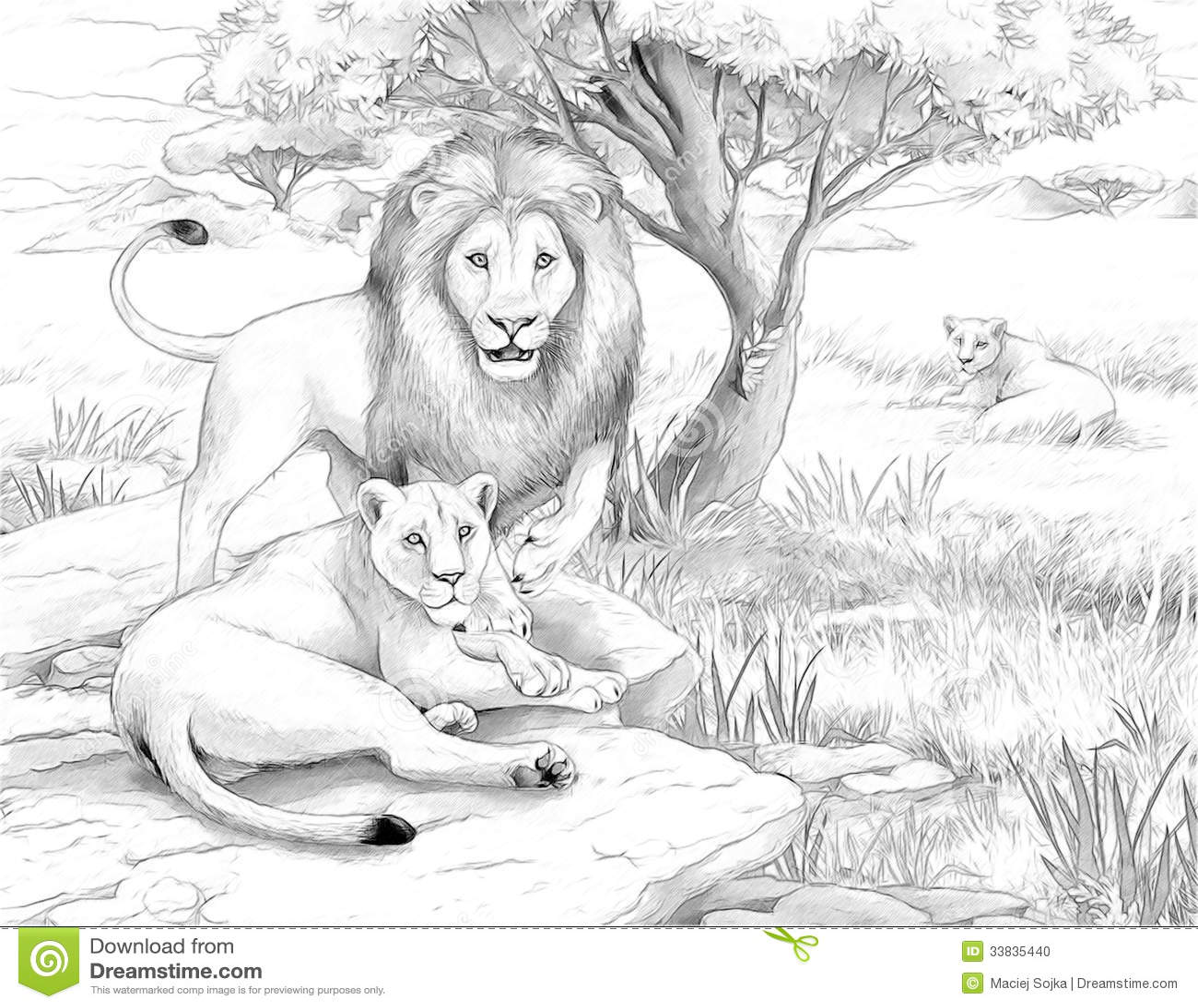 Lion colorings - Safari Lions Stock Photo Image 33835440
