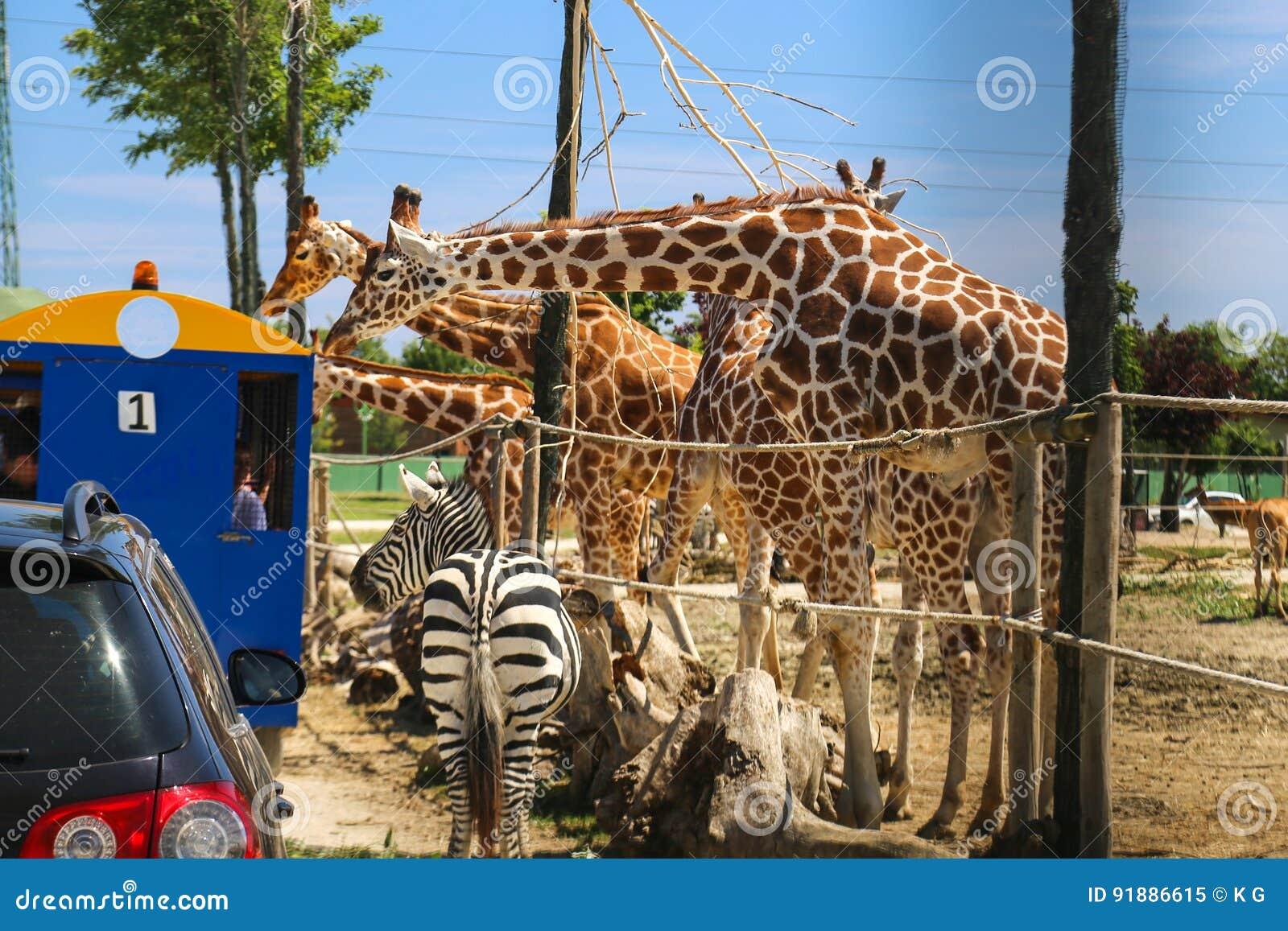 Safari Royalty-Free Stock Photography
