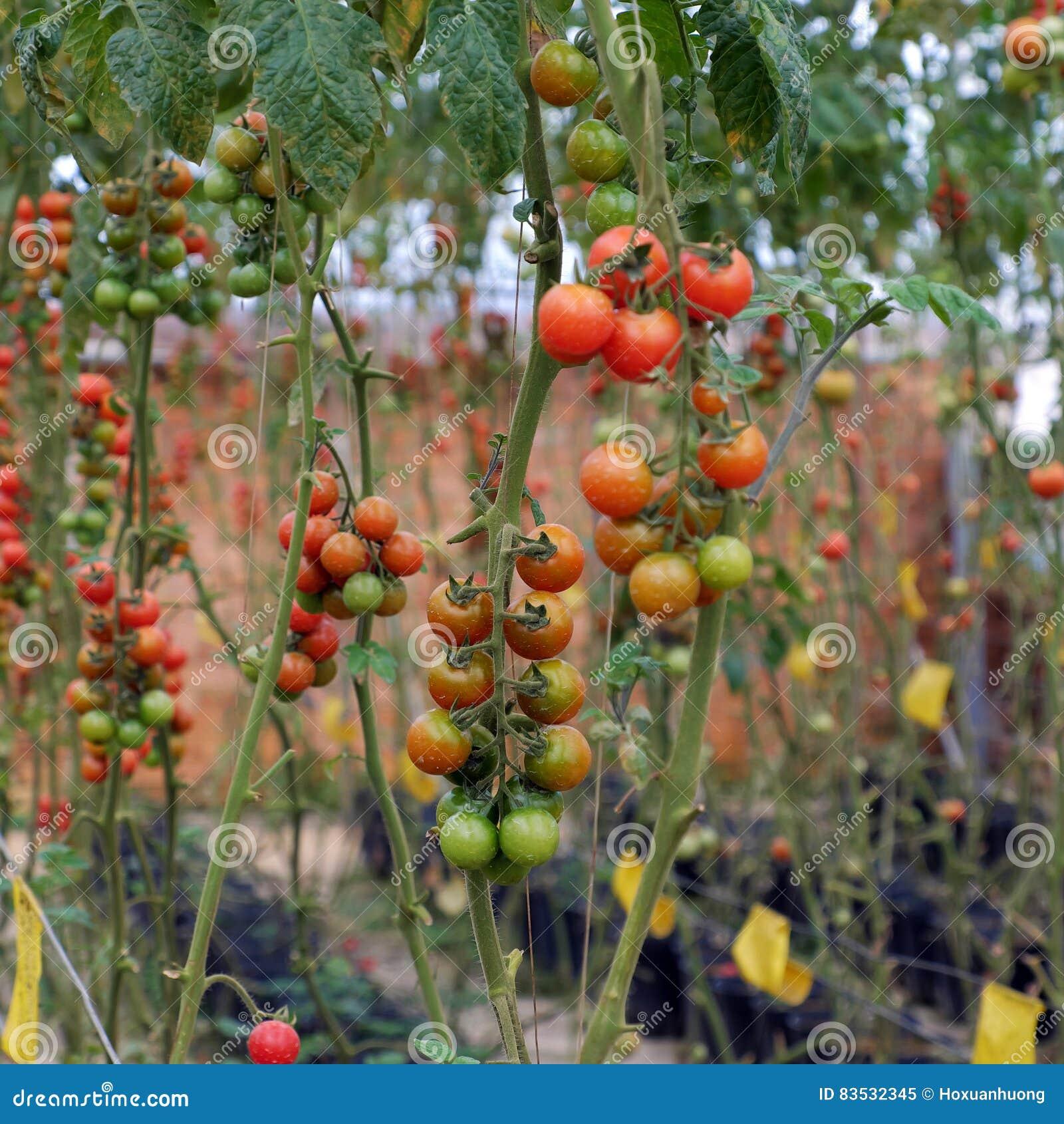 Safe Vegetable Farm, Da Lat Tomato Garden Stock Image - Image of ...