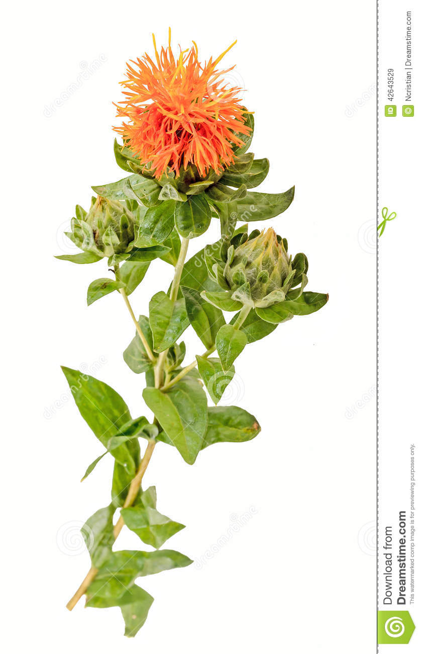 Safflower Carthamus Tinctorius L Is A Highly Branched Herbaceous Thistle Like Annual Plant Stock Image Image Of Leaf Field 42643529