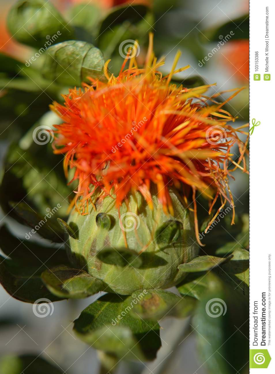 Funny face on a safflower blossom