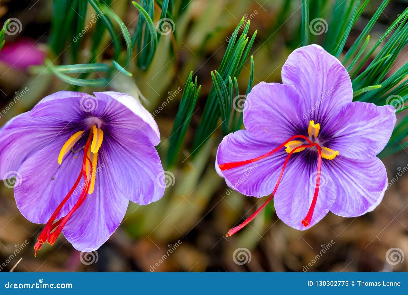Saffran är en krydda som härledas från den sativus blomman av krokus