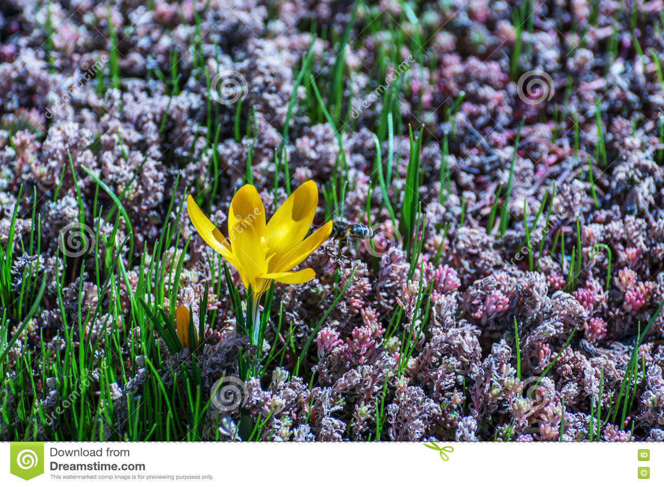 Saffron Crocus Attracts Bees To Gather Nectar And Pollen Stock