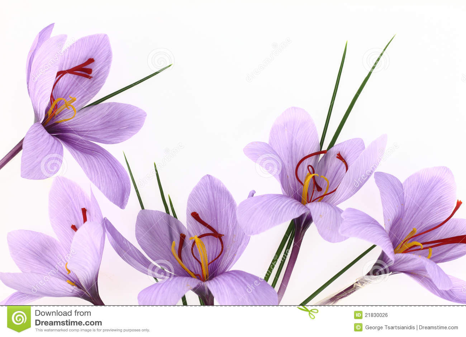 Saffron Flowers Royalty Free Stock Image Image