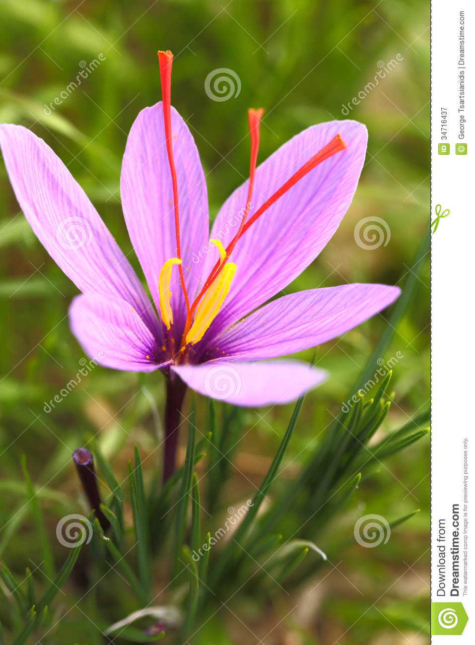 Saffron Flowers Stock Image. Image Of Meadow, Aroma, Bloom