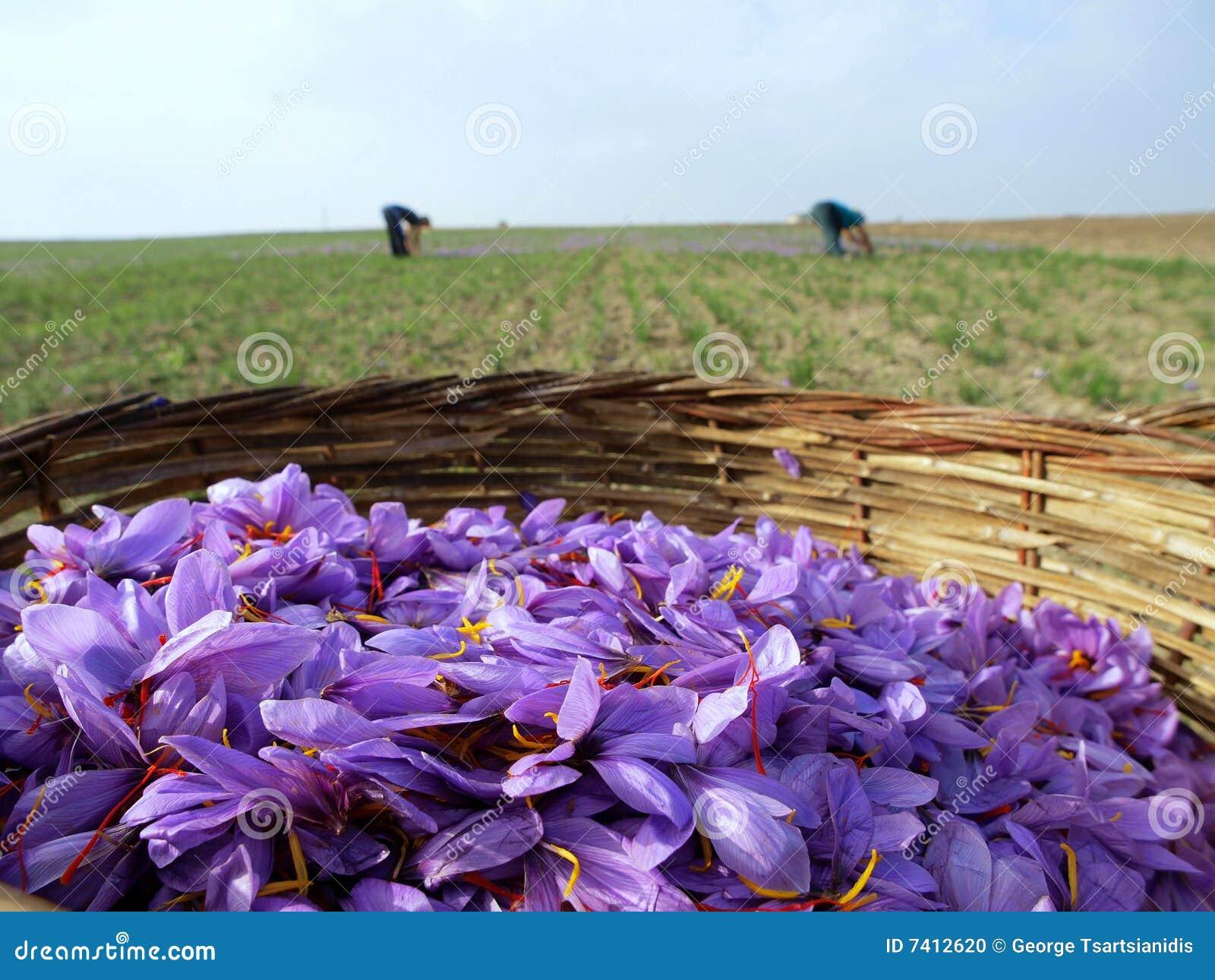 Safranblumen in der Blüte
