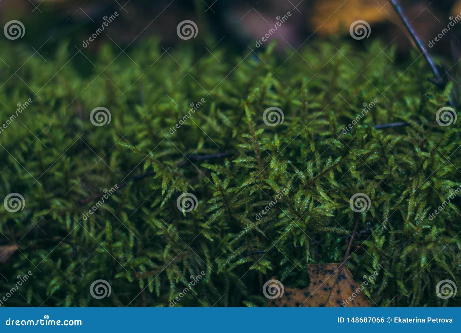 Saftig grön mossa i skognärbilden Bush härlig grön mossa Skoggr?s Bakgrund