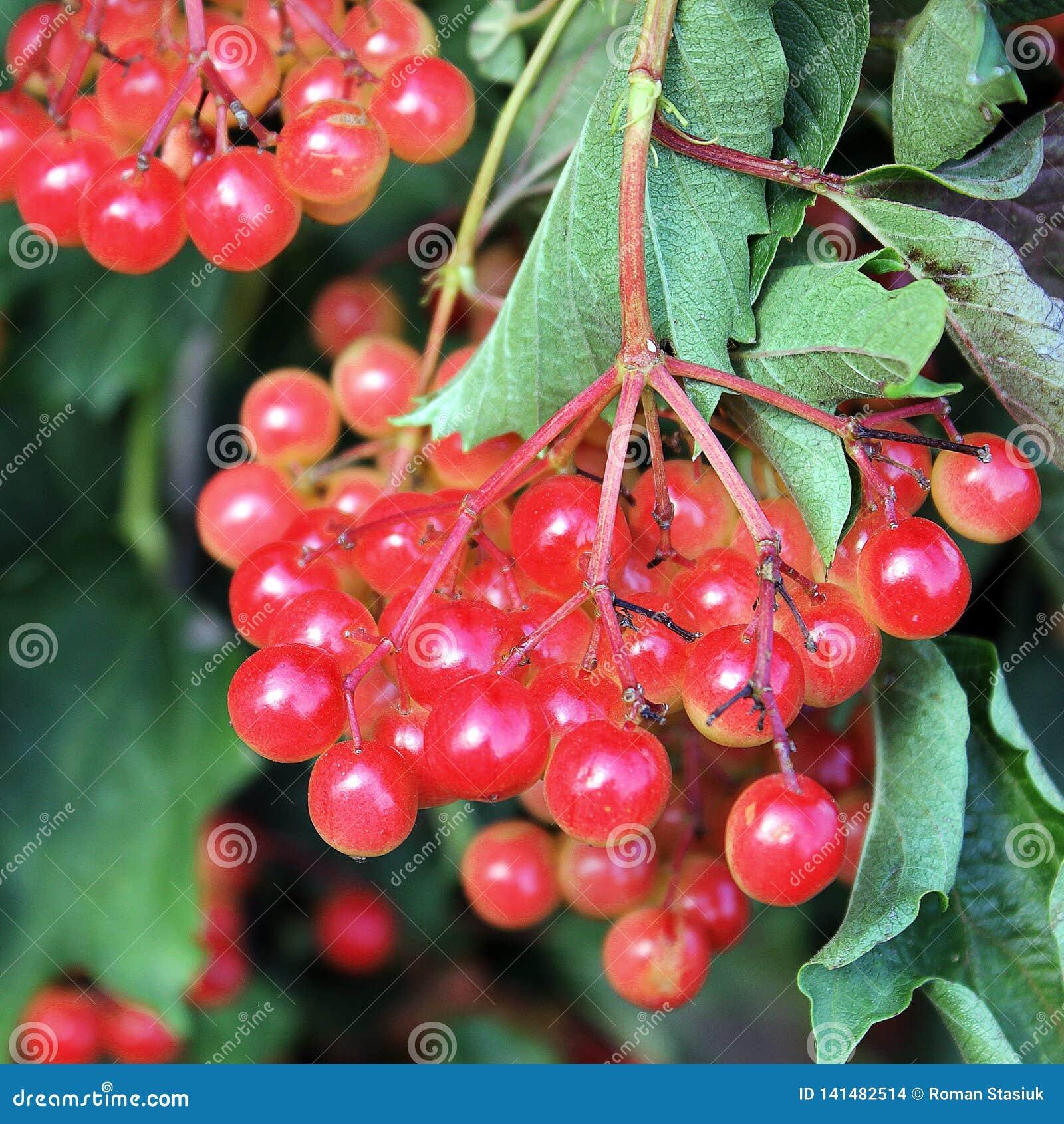 Saftig viburnum på trädet