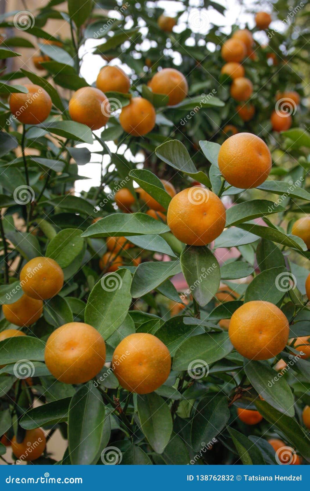 Saftiga och mogna orange tangerin på en trädfilial