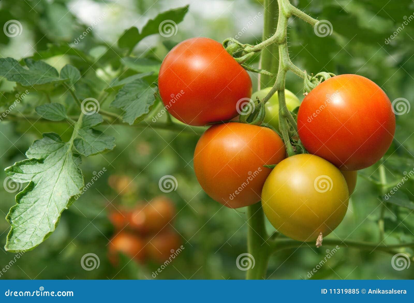 Saftige und frische Tomaten