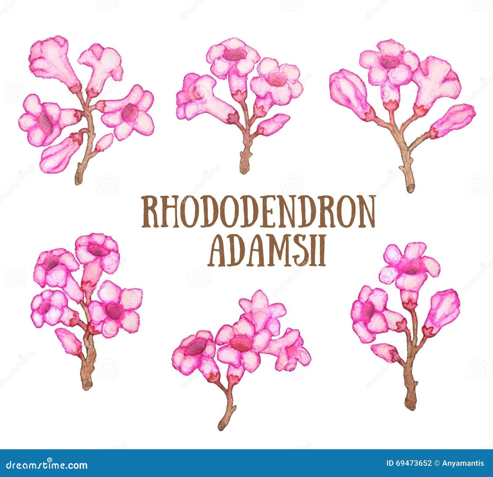 Sagan-dali del adamsii del rododendro, ejemplo de la acuarela del arbusto del té de Labrador