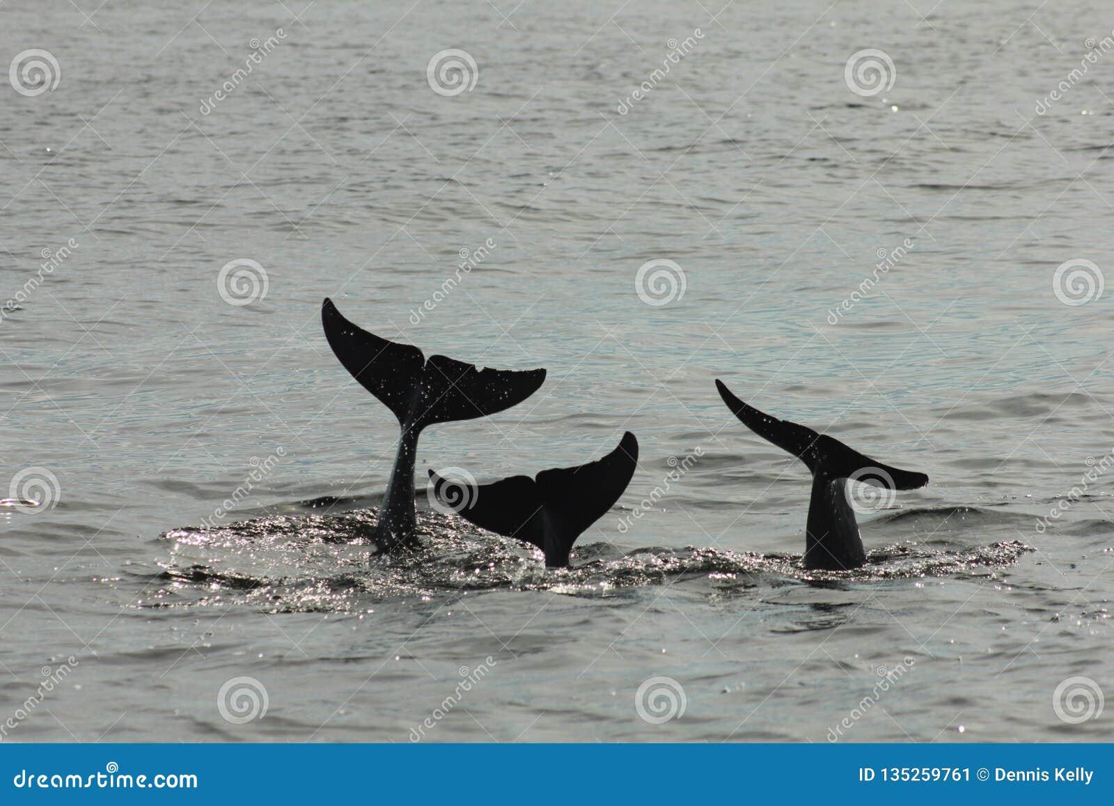 Sagasvansen av tre delfin