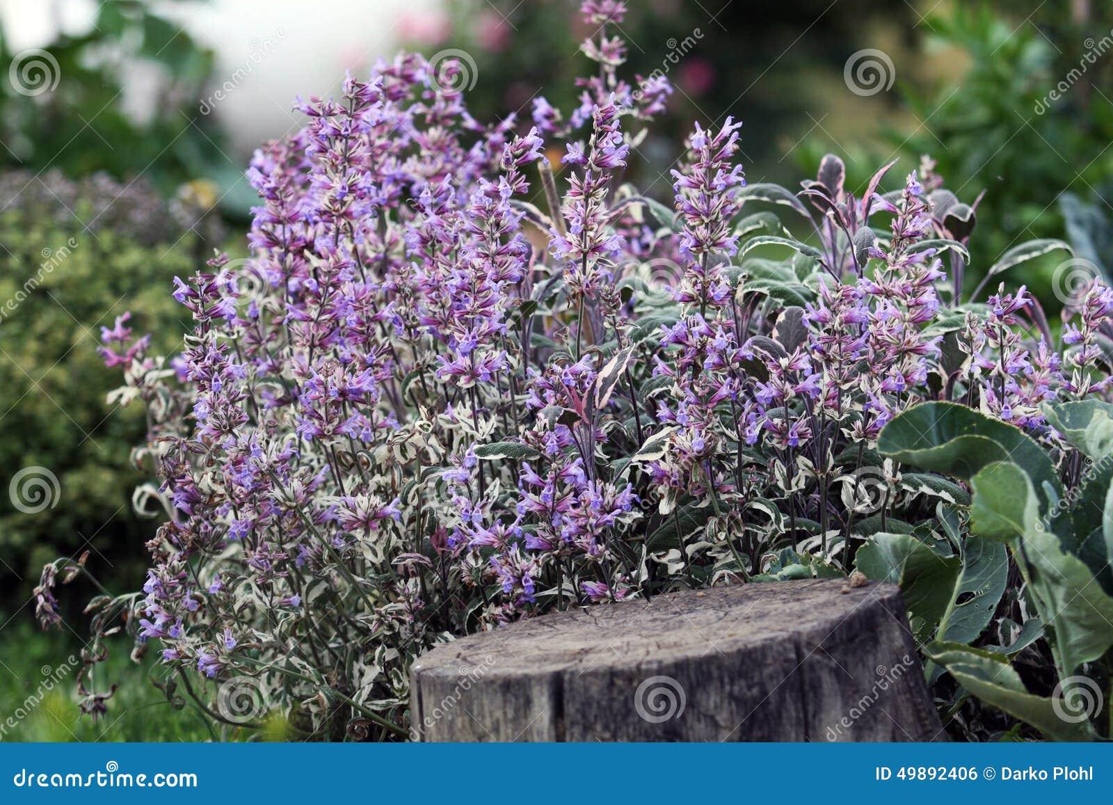 Sage bush blooming