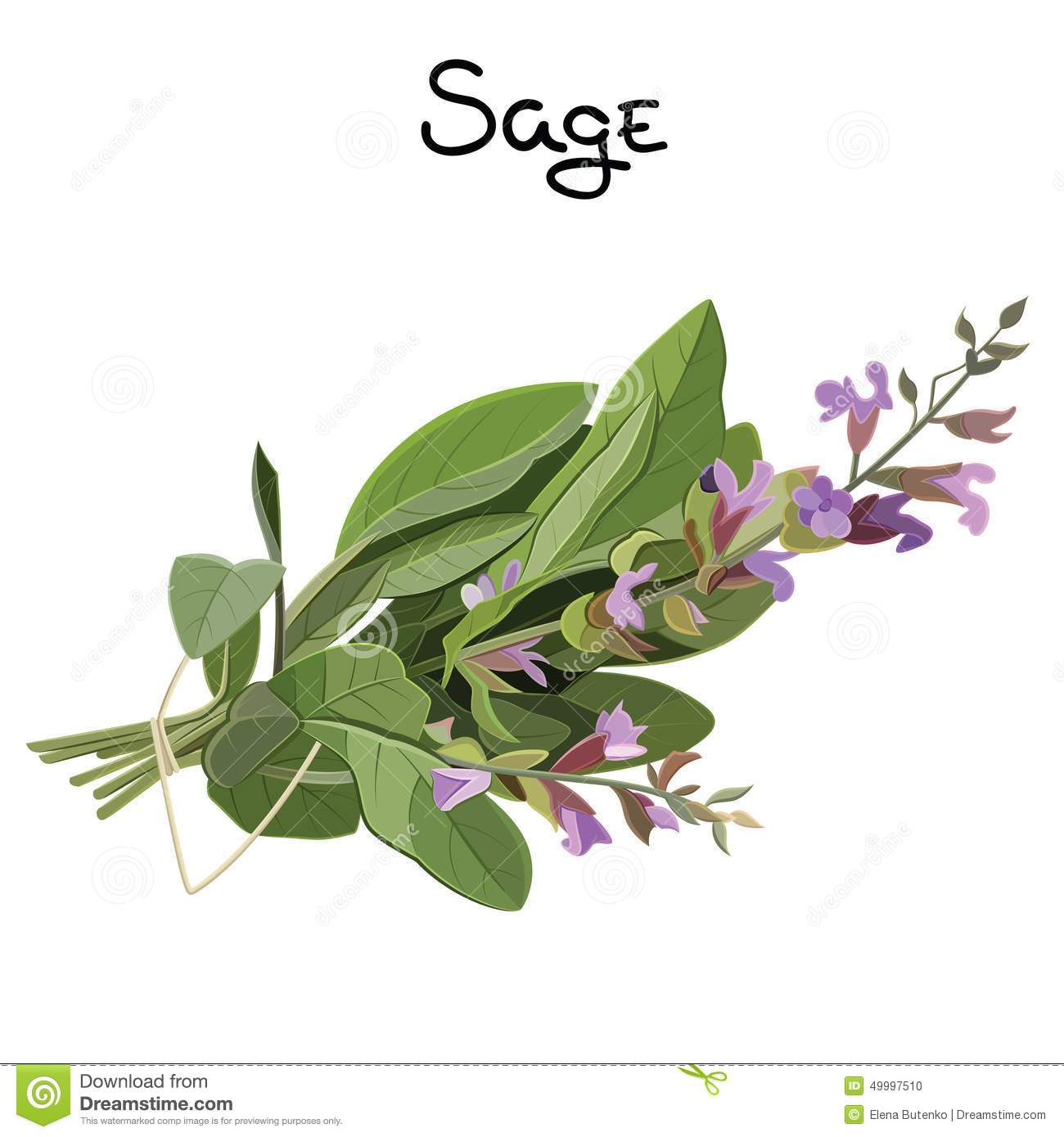 Sage Illustration Sage Herb Stock...