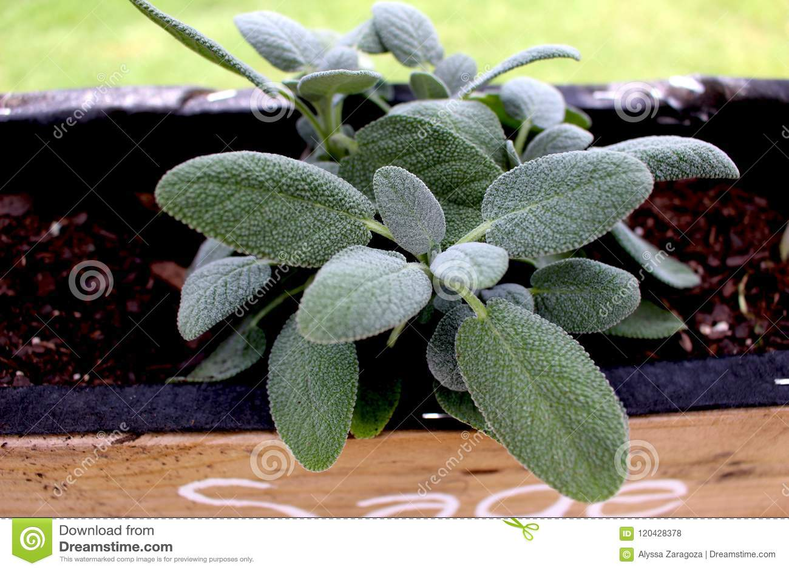 Sage Plant Close OBEN