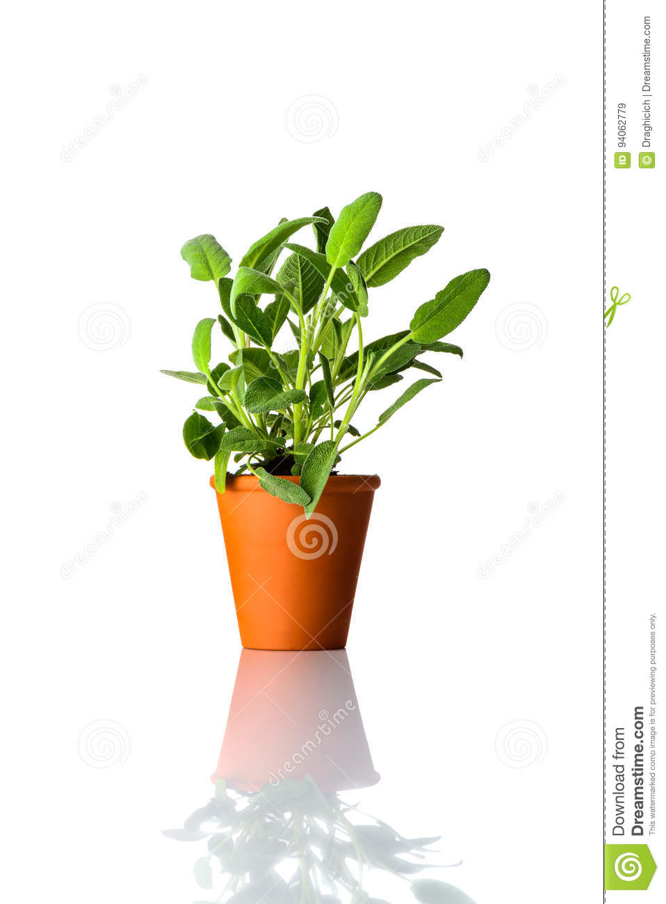 Sage Plant Growing in Pot on White Background