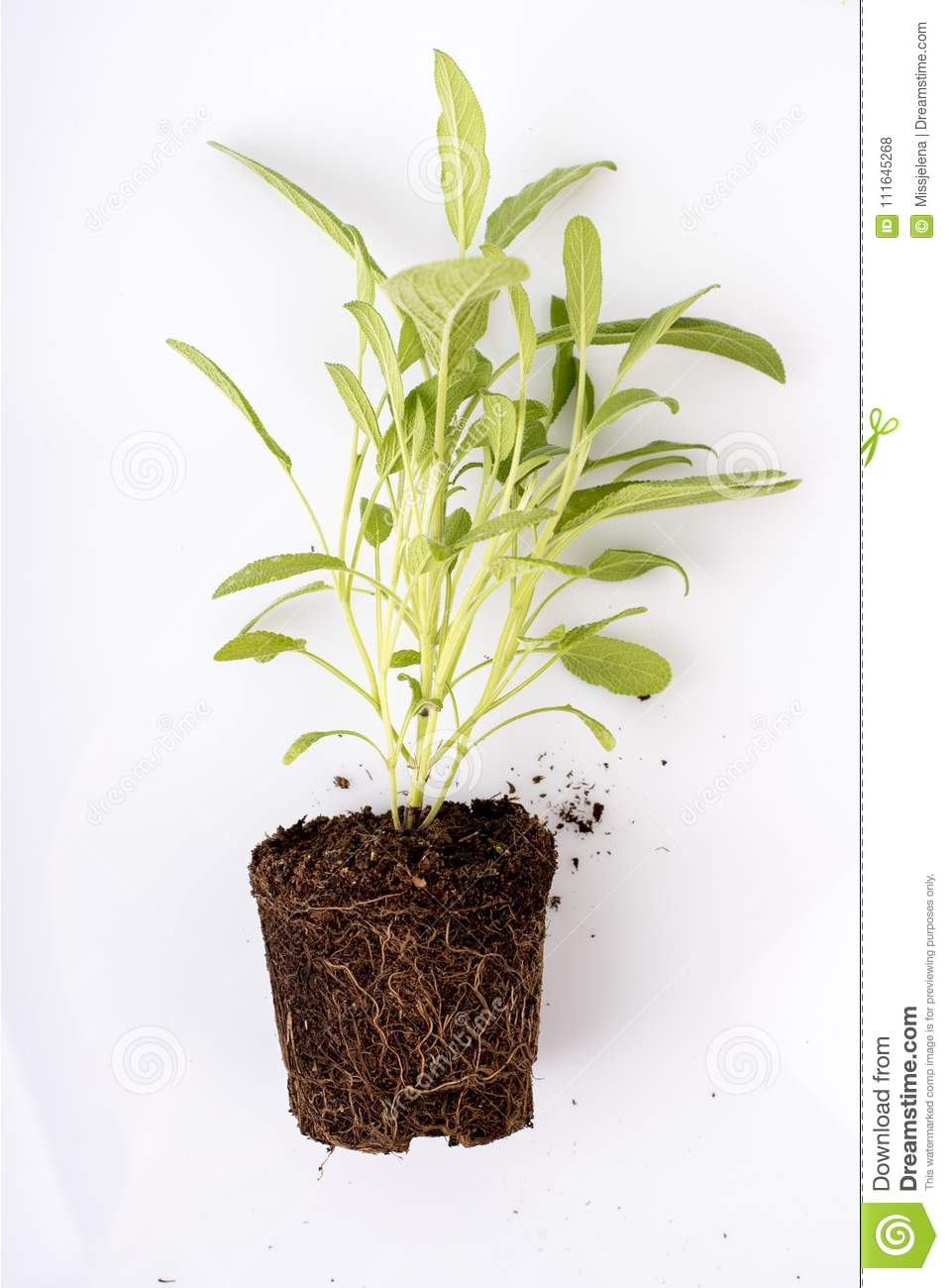 Sage Plant With Roots Isolated Over White Stock Photo