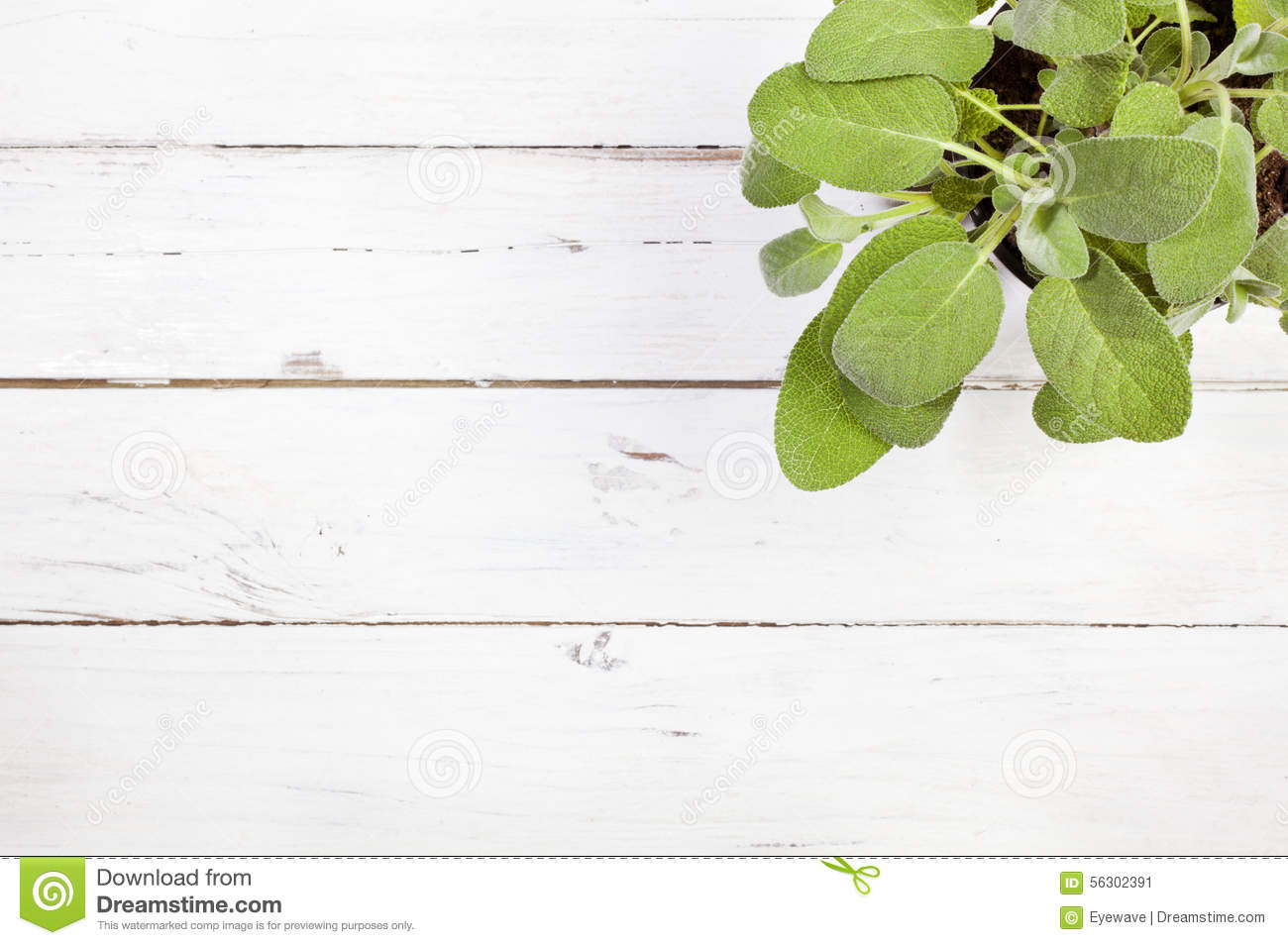 Sage Plant On Rustic White Table Top View I