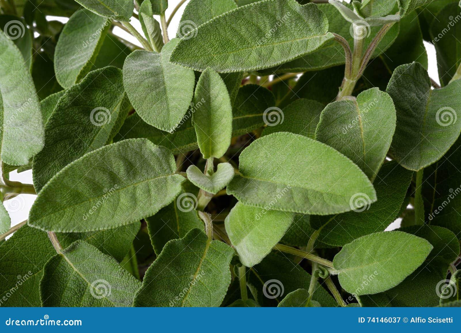 Sage plants background