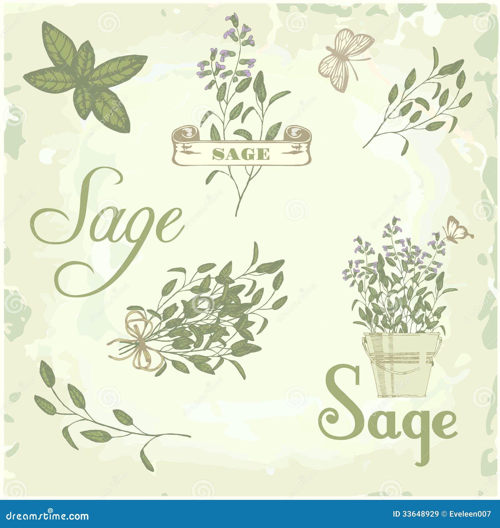 Sage Illustration Sage, Salvia, Clary Sa...
