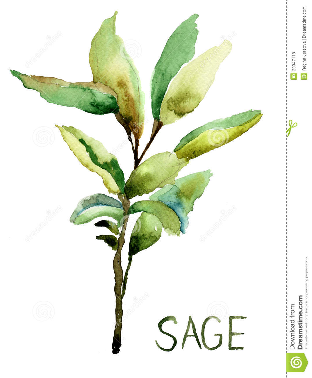Sage Illustration Sage, Watercolo...