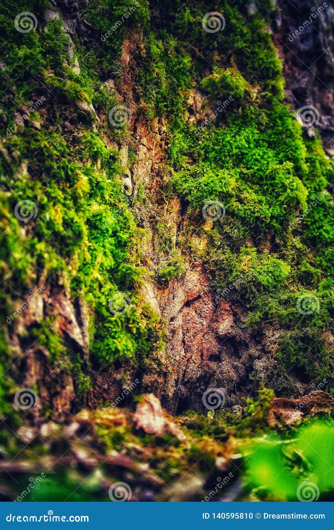 Sagolik gammal ek