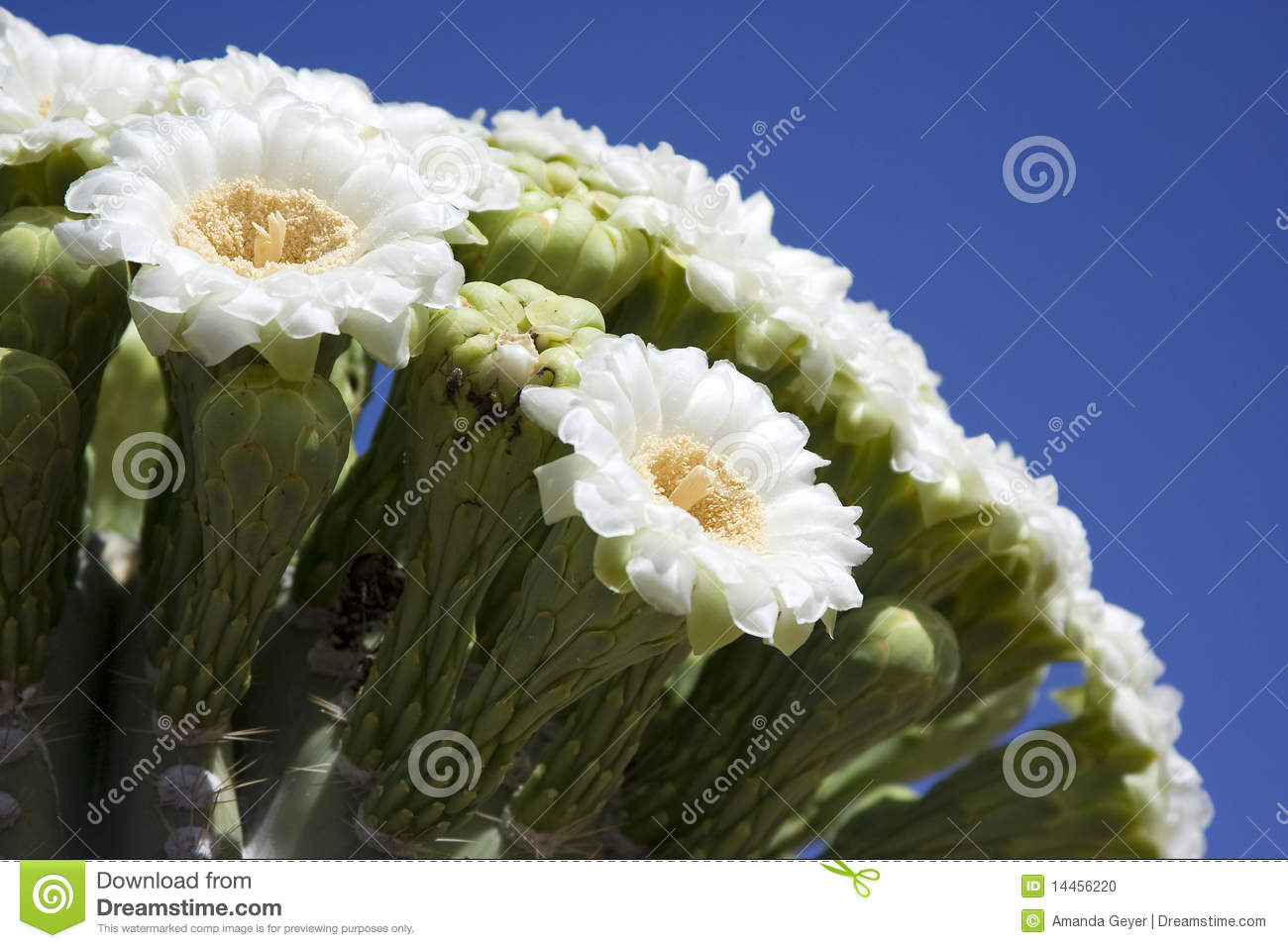 Saguaro Bloom Stock Image