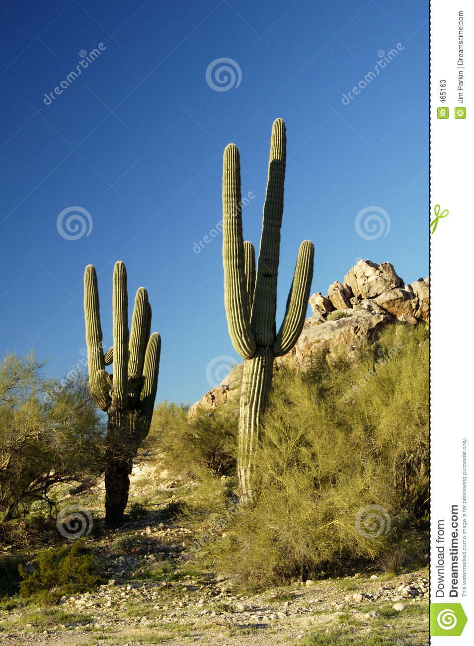 Download Saguaro Cactus 3 stock image. Image of nature, states, large - 465163