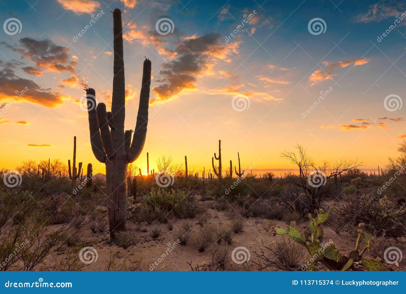 Saguaro Cactus at Sunset in Sonoran Desert